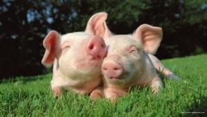pele-porc